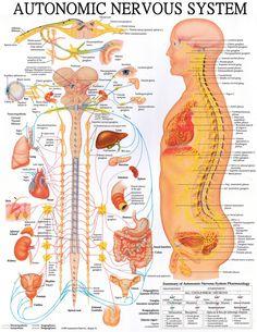 Nervous System Diagram. #chiropractic #wellness #quotes #health #Chiropractor