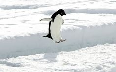An Adelie penguin leaps over a crack in the ice near the penguin colony at Cape Royds, Antarctica.