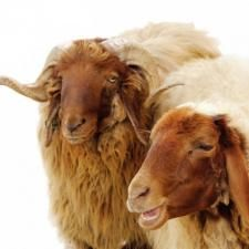 Awassi sheep are a tough breed💚 Unusual Animals, Animals Beautiful, Baa Baa Black Sheep, Sheep Breeds, Future Farms, Pig Farming, Sheep Farm, Lord Is My Shepherd, Sheep Wool