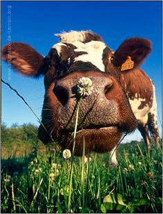 Normandy cow, funny face :)