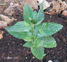 Planta de limón de solo 20 centímetros de altura obtenida mediante la técnica de injerto