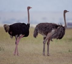 The ostrich or common ostrich (Struthio camelus) is either one or two species of large flightless birds native to Africa, the only living member of the genus. Desert Animals, Big Animals, Safari Animals, Ostrich Bird, The Ostrich, Animal Spirit Guides, Spirit Animal, African Animals, African Safari