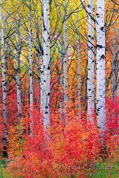 Maple and aspen trees in the fall, Wasatch Mountains, Utah