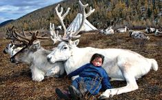 Somuk Valley, Hovsgol Province, Outer Mongolia.  A Duhlar child falls asleep on a white reindeer.  Photo by Hamid Sardar-Afkhami