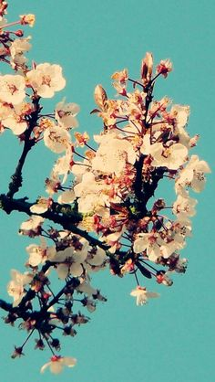 Sunny Cherry Blossom In Cyan Sky #iPhone #5s #Wallpaper