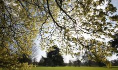 Acer opalus es en España. Los acer opalus son verde. En el otoño los acer opalus son anaranjado y amarillo. - Mediterranean plants