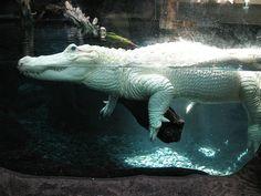 Beautiful albino croc
