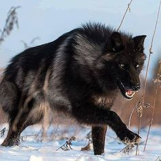 Melano wolf