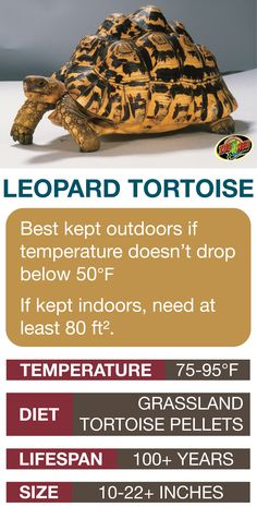 Learn the basics of Leopard Tortoise habitat setup and care needs before bringing home your new pet. Tortoise As Pets, Tortoise Habitat, Baby Tortoise, Giant Tortoise, Sulcata Tortoise, Tortoise Food, Turtle Habitat, Tortoise Enclosure, Tortoise Table
