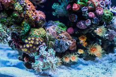 Each month we feature a member of the community and their reef tank to show the many successful ways to keep a reef aquarium. Seahorse Aquarium, Cichlid Aquarium, Nano Aquarium, Aquarium Design, Marine Aquarium, Reef Aquarium, Marine Fish Tanks, Marine Tank, Saltwater Fish Tanks
