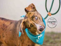 Clay County, FL-.BINGO - ID#A006767 My name is BINGO. I am a neutered male, brown merle Australian Shepherd mix. The shelter staff think I am about 1 year and 4 months old. I have been at the shelter since Mar 25, 2015.For more information about this animal, call: Clay County Animal Care and Control at (904) 269-6342 Ask for information about animal ID number A006767
