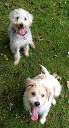 Name; Poppy&Twiglet, Breed:Poppy - Wire haired parson Russell, Twiglet -  Bedlington X.