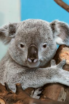 Queensland koala at Edinburgh Zoo