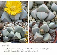 Lapidaria margaretae are geometric succulents with interesting shapes Pretty Things, Dame Nature, Wtf Fun Facts, Cactus Y Suculentas, The More You Know, Looks Cool, My New Room, Tumblr Posts, Mind Blown
