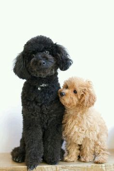 Poodles they are actually German Dogs and their name means Puddles in German. The French adopted them as their dog hence the French poodle was born. Cute Puppies, Cute Dogs, Dogs And Puppies, Doggies, Baby Dogs, Perros French Poodle, French Poodles, Standard Poodles, Beautiful Dogs