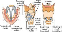 arytenoid cartilage - Google 검색