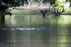 Fled from the flood, two deers swim in the flooded water of the Danube river to look for shelter at the Gemenc Forest in Hungary on June (Peter Kohalmi/AFP/Getty Images) Beautiful Creatures, Animals Beautiful, Cute Animals, Wild Animals, Fotojournalismus, Drama, Red Deer, Pictures Of The Week, Woodland Creatures