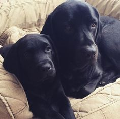 Black Labs Black Lab Puppies, Cute Puppies, Cute Dogs, Dogs And Puppies, Doggies, Golden Retrievers, Big Dogs, I Love Dogs, Black Labrador Retriever