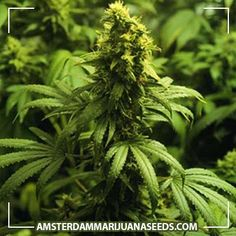 Californian Skunk seeds   A fine blend of sweet orange flavored Californian strains, combined with a skunky hash flavored Indi...