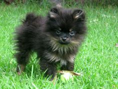 I can BEARLY believe how cute this pup is! | A community of Pomeranian lovers!