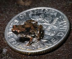 The worlds smallest vertebrate is a recently discovered frog measuring 0.3 inches long (7.7 millimeters).