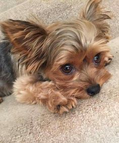Cute Little Puppies, Cute Puppies, Cute Dogs, Cutest Small Dog Breeds, Best Dog Breeds, Puppies And Kitties, Yorkie Puppy, Doggies, Rat Dog