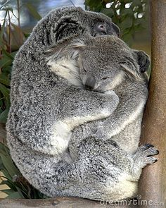 The koala is a small bear-like, tree-dwelling, herbivorous marsupial which averages about lb) in weight. Animals And Pets, Baby Animals, Cute Animals, Funny Animals, Sims, Holding Baby, Australian Animals, Pet Birds, Animals Beautiful