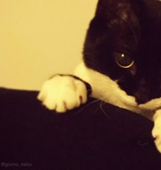ギズモさん@写真集発売中 @gizmo_neko  2016年1月3日   あっ、 おもちかと思ったら猫だったー! おもちかと思ったら猫だったー!!  #特に意味のないお正月ボケ
