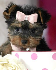 126 Best Elegant T Cup Puppies For Sale Images In 2019 Yorkie