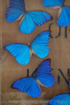 mariposas azules