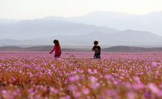 El Niño faz deserto do Atacama se transformar em tapete de flores - 02/11/2015…