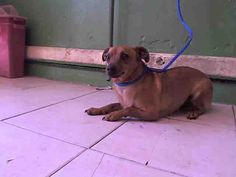 CHAPO - ID#A5055283\r\n\r\nMy name is Chapo and I am described as a neutered male, tan and cream Terrier and Chihuahua - Smooth Coated\r\n\r\nThe shelter thinks I am about 2 years and 5 months old.\r\n\r\nI have been at the shelter since Apr 29, 2017.\r\n\r\nFor more information about this animal, call:\r\nLos Angeles County Animal Control - Carson at (310) 523-9566\r\nAsk for information about animal ID number A5055283