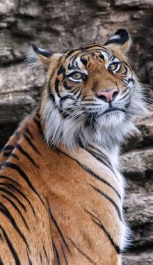 Manis  - Sumatran Tiger By Sumatra-Tiger