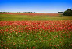 Poppy Field in Ukraine
