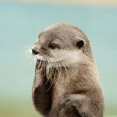 'I forgot where I left my Fish now' - Funny but Cute Little Baby Otter