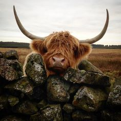 Signature nosey cow pose from Sheila Beg. #highlandcow #dgwgo #loves_scotland #farmingphotographydaily #be_one_rural #coosday…