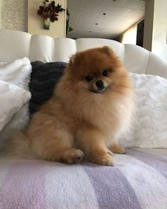Really Cute Puppies, Cute Baby Dogs, Cute Baby Animals, Animals And Pets, Spitz Pomeranian, Baby Pomeranian, Pet Puppy, Pet Dogs, Dog Cat