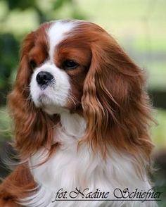 Ruda Sympatia - Hodowla psów rasy cavalier