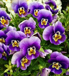 Edible Flowers: Pansies (Viola Cornuta)............recipes and ideas on website.......