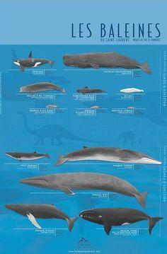 Voici les douze espèces qui visitent le Saint-Laurent de façon saisonnière et la seule espèce qui y réside toute l'année, le béluga. Canada Travel, Canada Trip, Lets Run Away, Hello Weekend, St Lawrence, Destination Voyage, Kayaking, Whale, Animal Pics