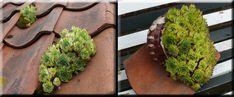 Huislook – Sempervivum tectorum - In Gerard's Tuin Avocado Toast, Sprouts, Vegetables, Breakfast, Food, Morning Coffee, Essen, Vegetable Recipes, Meals