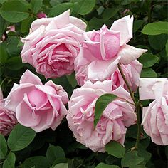 Rosa 'La France' (France, 1867) a beautiful pink rose, typical of the type painted by Catherine Klein