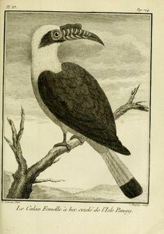 Antique natural history bird art. Voyage à la Nouvelle Guinée - Biodiversity Heritage Library.
