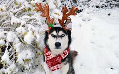 This Grumpy Husky Is so Over Your Holiday Cheer | They say it's the most wonderful time of the year... but this husky disagrees.