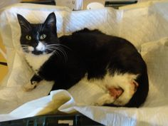 This cat was saved by Joseph Vizzielli, who spotted the cat as he was driving south on the Hutchinson River Parkway on Thursday, Dec. Vizzielli said the cat is weak but resting, and is expected to recover. Found Cat, Black And White Tuxedo, Scared Cat, Pet Carriers, Cat Face, Animal Rescue, Making Out, Adoption, River