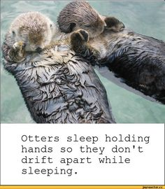 Otters sleep holding hands so they don't drift apart while sleeping