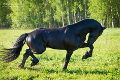 Power of the Friesian horse 2 by ~Vikarus on deviantART
