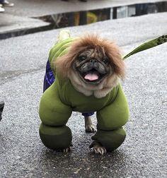 cutepugpics:  You wouldn't like Hulk Pug when he's angry, good thing he's always happy! (viasaramvaza)