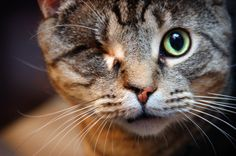 """""""Odin had a hard life at the beginning, born to an abusive, neglectful family, he was an outside cat who got more than his share of beatings from both animals and people nearby. Scars are apparent on his ears, and especially his nose, of past battles. However, Odin wasn't brought into the shelter until his eye was shot out with""""    Read the rest of the story -> http://littlerobin87.deviantart.com/art/I-m-still-beautiful-114556285"""