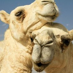 May people love one another more than camels in Bahrain. Alpacas, Animals And Pets, Cute Animals, Desert Life, Animal Kingdom, Animals Beautiful, Mammals, Giraffe, Wildlife